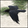 raven_flying.png