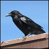 raven_sitting.png