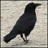 raven_walking.png