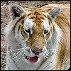 tabby_tiger.jpg