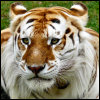 tabby_tiger_looking_at_you.jpg